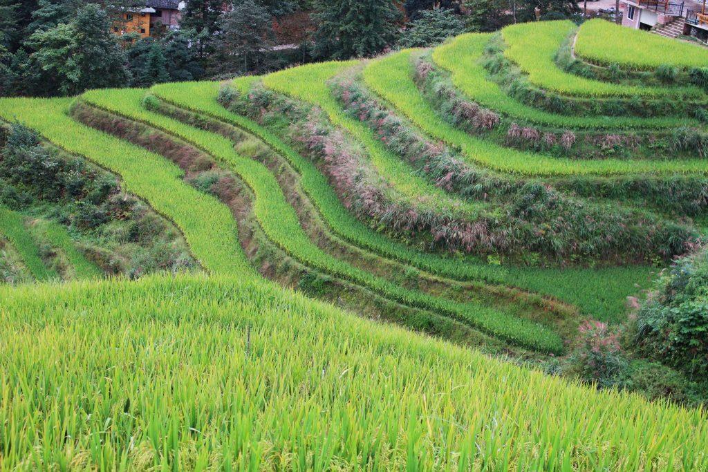 Longji Rice Terraces In China Corps