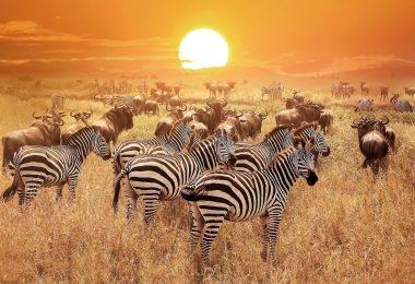 Serengeti National Park zebra